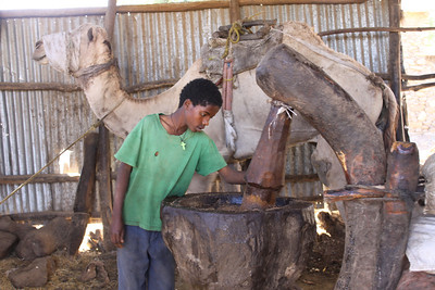 camel walks in circles turning mortar that crushes sesame seeds into oil