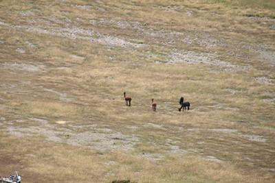 Many alpacas in N.Z.