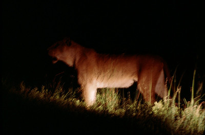 riding in pride of lions hunting at night