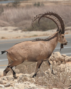 A wild Nubian ibex near En Gedi.