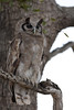 Verreaux's Eagle Owl.   Previously known as the Giant Eagle Owl.