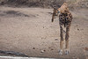 Giraffe & Croc at water hole.  The giraffe kept approaching the water but never did take a drink.   After about 45 minutes she walked away, still thirsty.