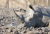 Rhino enjoying her mud bath
