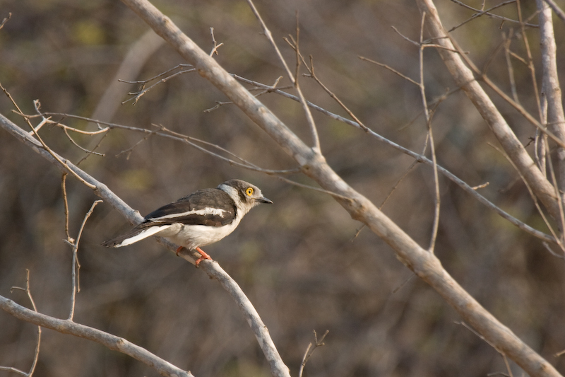 White Crested Helmet-Shrike