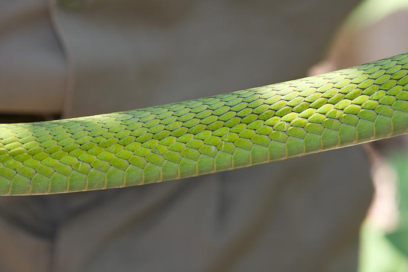 Green Mamba scales