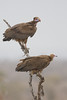 The White-Headed Vulture is very rare (top)   Hooded Vulture (bottom)