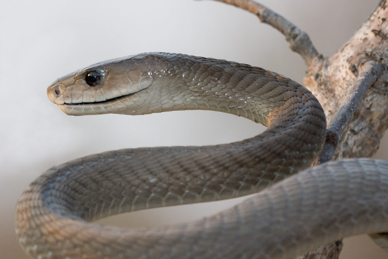"A Black Mamba showing its famous ""smile of death"""