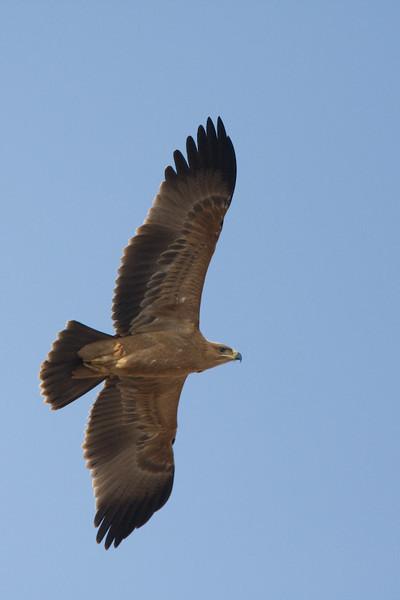 Tawny Eagle in flight.