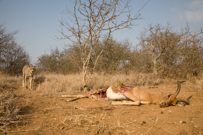 While Savannah was taking a break in the shade, we moved the kill into the open to get better photos.