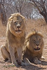 These male lions were going to be shot for killing livestock.  They were captured and are kept on the the Big Cat Reserve.  They don't like humans at all.