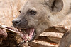 Hyaena at a kill