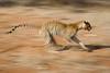 Panning shot of a running leopard