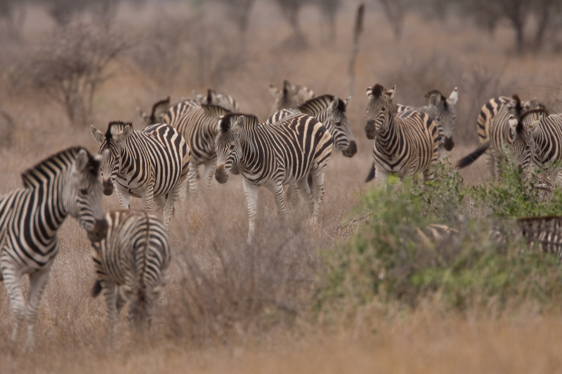Zebra Herd on the way to a watering hole.