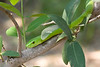 The Green Mamba is hard to spot in trees