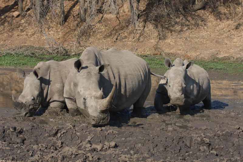 This how Rhinos have fun.