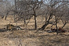 Male Lion guarding its Zebra kill.