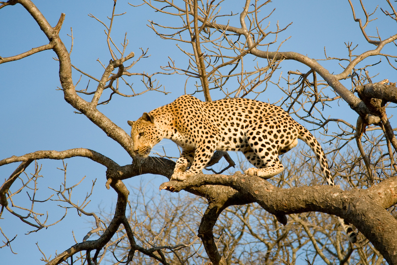 Leopard preparing to jump from a tree.
