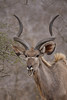 A Male Kudu sounds the alarm