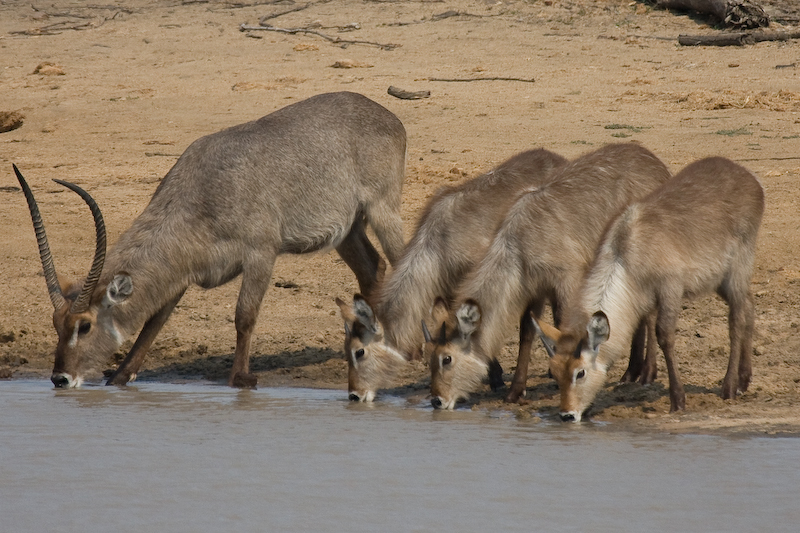 Waterbuck family