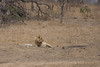 Male Lion checking out the watering hole.