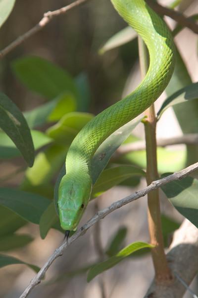 The Green Mamba has a neurotoxic venom