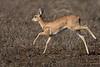 Steenbok on the run