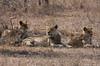 Female lions near the Zebra kill
