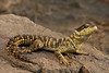 Warren's Girdled Lizard (also known as a Sungazer)