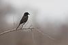 Black Fly-Catcher