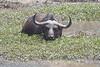 Female African Buffalo