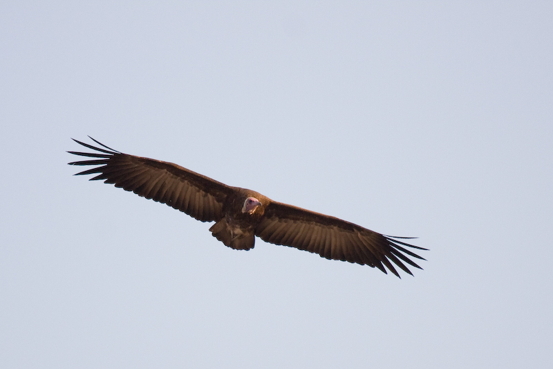 Hooded Vulture in flight