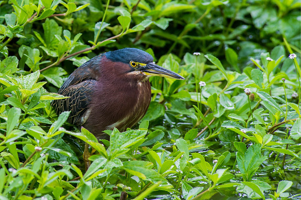 Green Heron stalks the waterside for bugs and fish.