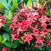 Crimson Ixora (Ixora macrothyrsa), a member of the coffee family native to East Indies.