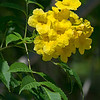 Yellow Elder (Tecoma stans) from the Bignonia Family.  Official flower of Bahamas & US Virgin Is.
