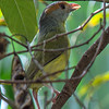 Rufous-brown Peppershrike