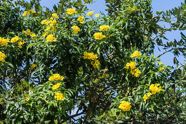 Yellow Elder (Tecoma stans)