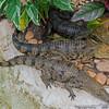 Baby crocodiles in an enclosure.