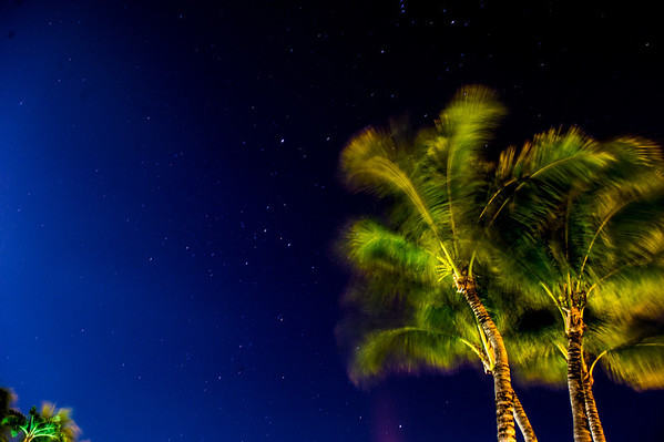 Orion appears in the sky behind the gently waving palm fronds (Coconut Palm, Cocos nucifera).