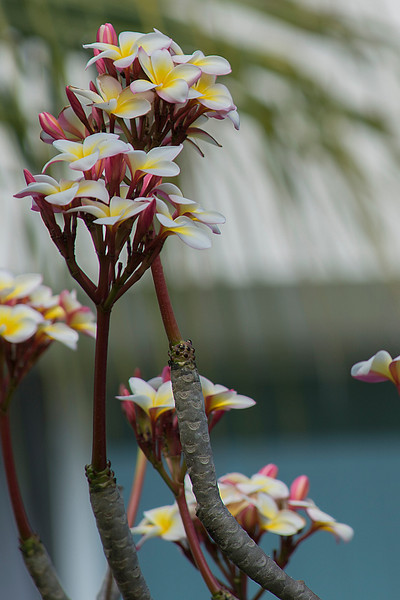 Frangipani (Plumeria obtusa) in Dogbane Family, native to West Indies