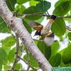 Redstarts were flighty and hard to capture.
