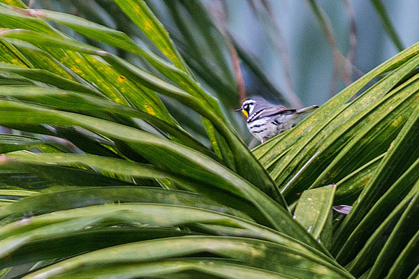Yellow-throated warbler.  Very shy.