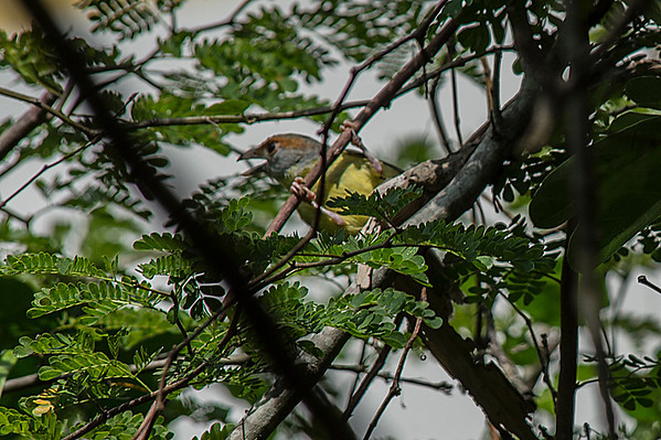 Rufous-brown Peppershrike of Vireo family.  Loud sound repeated constantly.