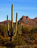 Cactus near Picacho Peak in Arizona