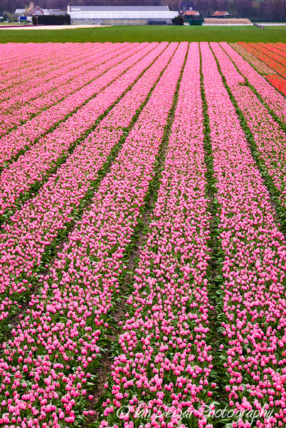 Pink tulip field The Netherlands