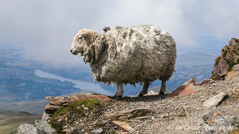 Welsh sheep on Snowdon
