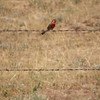 Bird on a Barbed Wire / Colorado