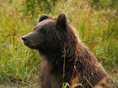 Grizzly bear on the Kenai Peninsula, AK