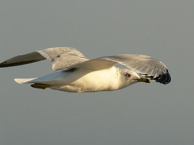 Soaring Gull, Hilton Head Island SC