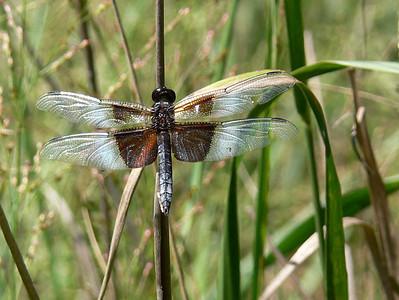 Dragonfly at the Plainsboro Preserve, NJ