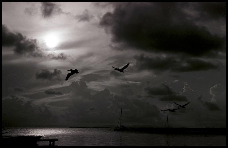 South Water Pelicans, Belize.